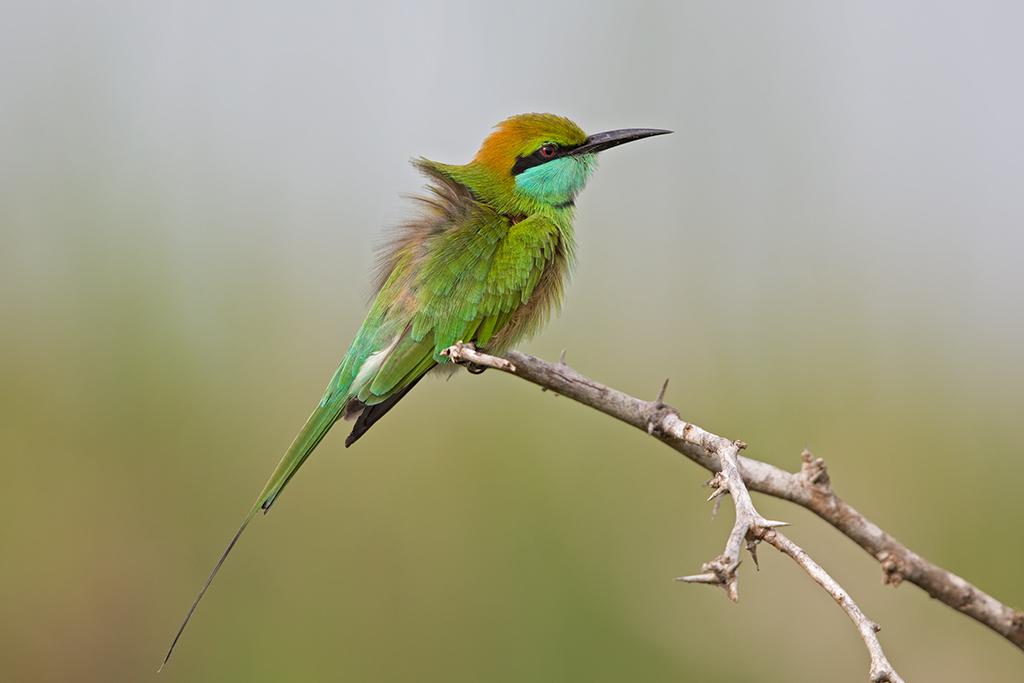 Green Bee-eater Sri Lanka 2013-11-29