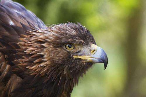Eagle poised