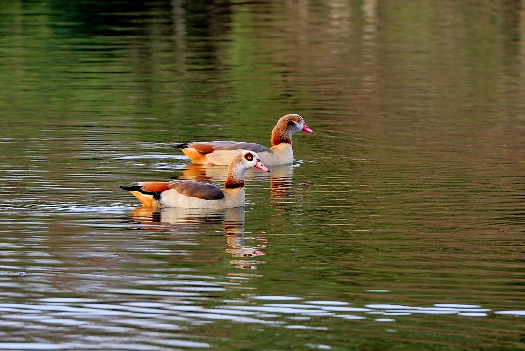 Egyptian Geese (EXPLORED #5) 43000+ views, thank you all!
