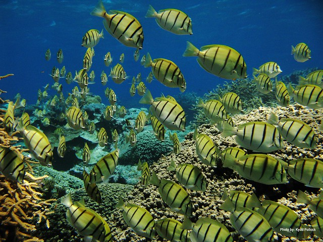 A school of manini at Kingman Reef NWR. Photo credit: Kydd Pollock