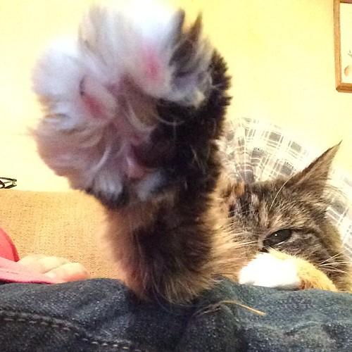 Giant Wylla paw. #wyllastout #ibkc #kitten #paw