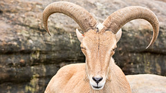 sheeps(0.0), sheep(0.0), gazelle(0.0), animal(1.0), argali(1.0), mammal(1.0), horn(1.0), barbary sheep(1.0), goats(1.0), fauna(1.0), close-up(1.0), wildlife(1.0),