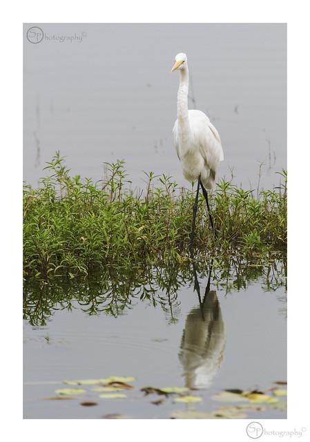 Intermediate Egret (Mesophoyx intermedia)
