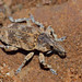 Small photo of Weevil (Curculionidae)
