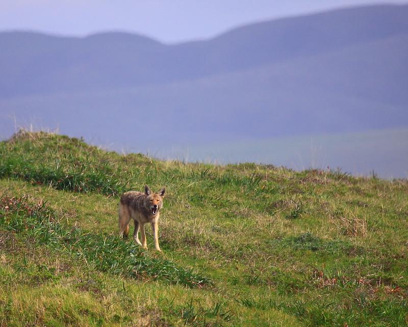 IMG_7581 Coyote