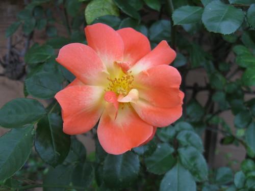 Orange rose 2014