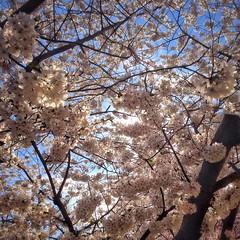 Blossoming Cherries