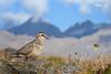 Eurasian Dotterel by Nicola Destefano - Wildlife Photography
