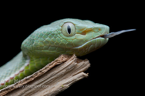 <i>Trimeresurus vogeli</i>_MG_0842 copy
