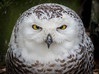 Snowy Owl by Photography And Artwork of Melissa McCarthy