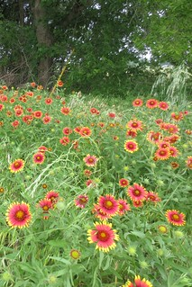 Patch of Indian Blankets (Gaillardia pulchella)