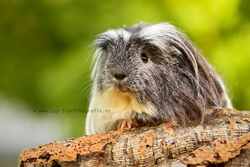 guinea pig by Partridge-PetPics