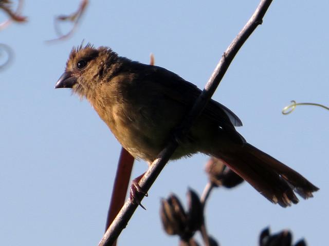 Northern Cardinal juv