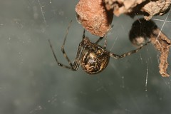 Brown widow?