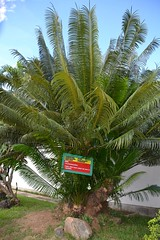 tropics(0.0), flower(0.0), fruit(0.0), food(0.0), date palm(1.0), arecales(1.0), borassus flabellifer(1.0), palm family(1.0), tree(1.0), plant(1.0), flora(1.0), produce(1.0), elaeis(1.0),