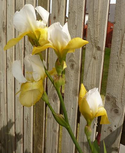 The iris plant today! by Bebopgirl1969