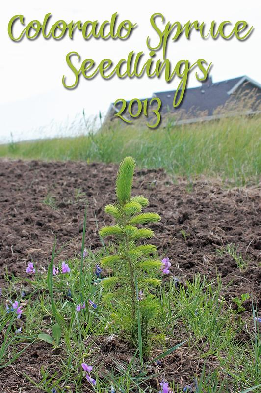 Colorado Spruce 2013