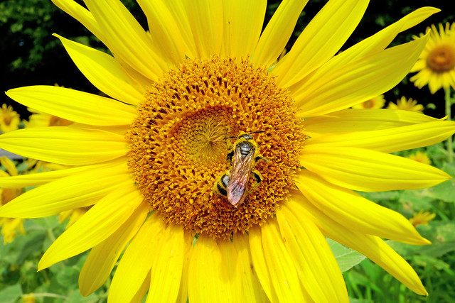 Photo:SONY Cyber-shot DSC-RX100 Test Shot (Honeybee and Sunflower) By Dakiny