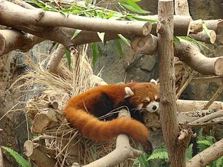 065 Kleine panda