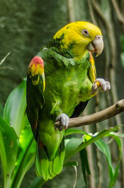 Yellow-headed Amazon (Amazona oratrix)