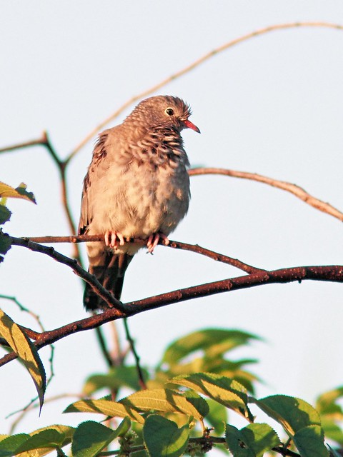 Common Ground-Dove 20130919