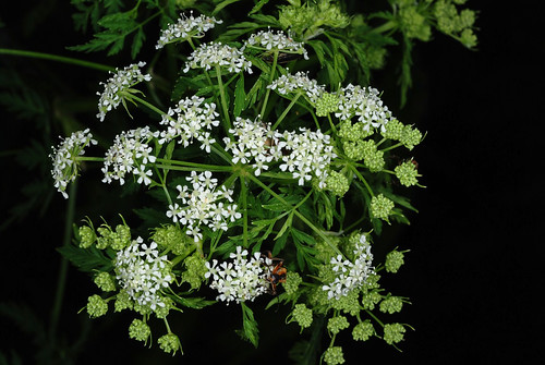 Top-view of the flower structure of Conium maculatum, poison hemlock, Greensboro, North Carolina.  Doug Goldman, USDA-NRCS-NPDT