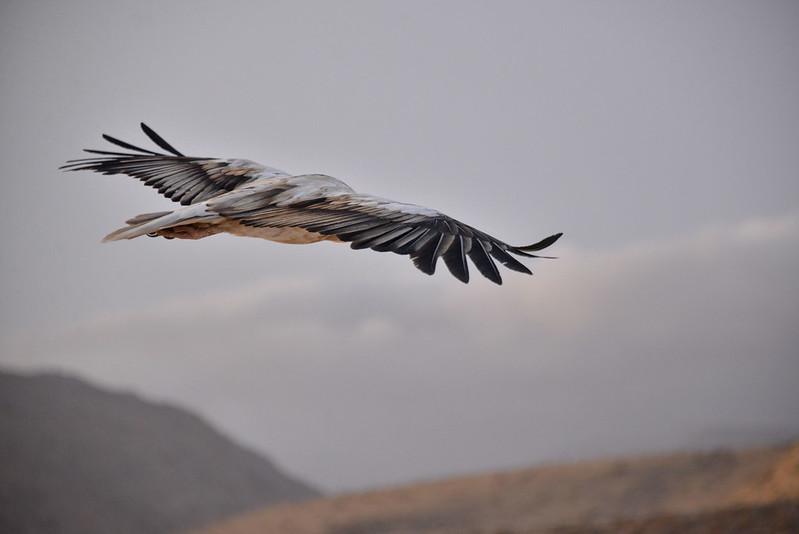 Flight, Socotra Island