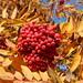 Fall in the garden Rowan tree loaded with berries.