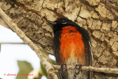 Texas: Painted Redstart 2