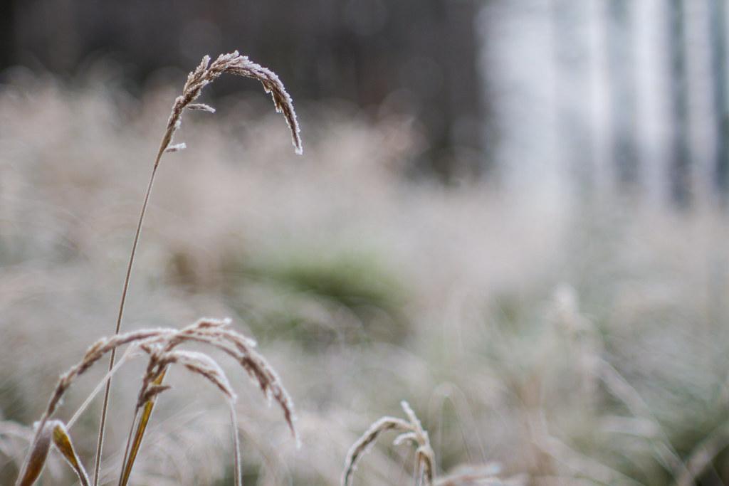 09 Ojíněná tráva
