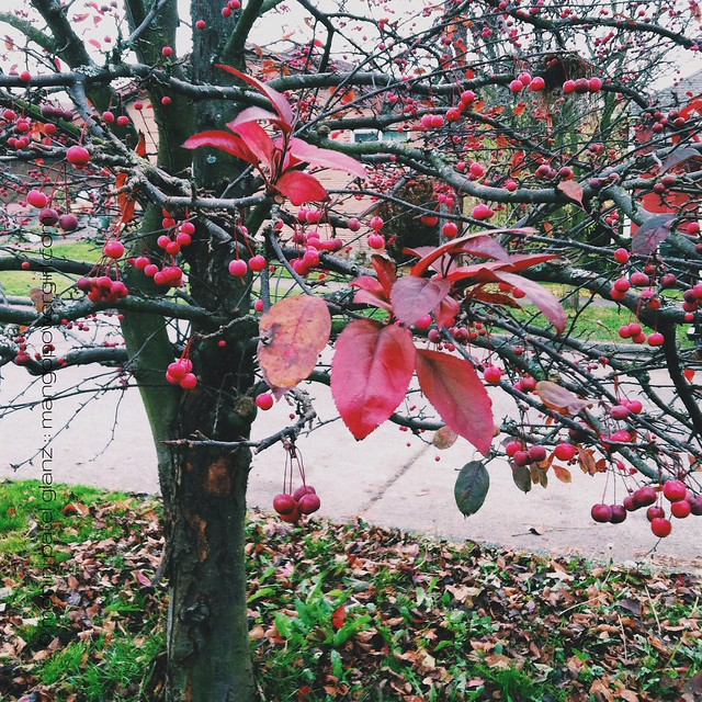 red berries & leaves
