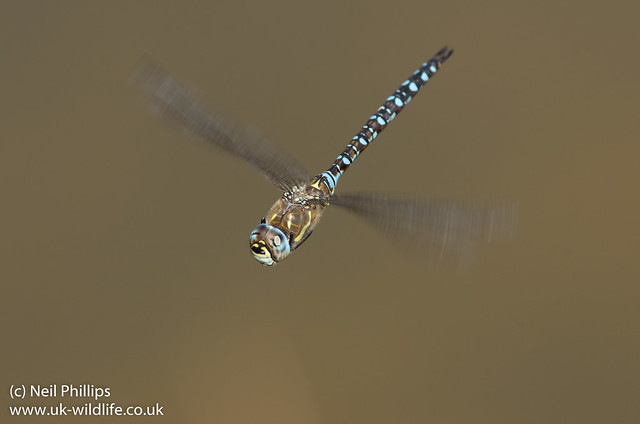 Migrant hawker in flight male-3