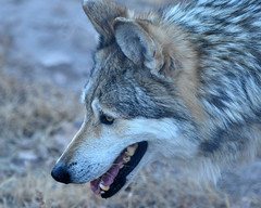 animal, canis lupus tundrarum, west siberian laika, dog, czechoslovakian wolfdog, gray wolf, red wolf, greenland dog, wolfdog, close-up, saarloos wolfdog, coyote, carnivoran, wildlife,