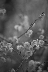 白梅 White plum blossoms