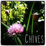 Garden Alphabet: Chives (Allium schoenoprasum) | A Gardener's Notebook with Douglas E. Welch