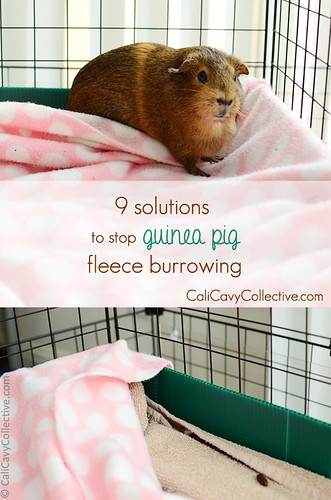 9 Simple Solutions to Stop Guinea Pig Fleece Burrowing