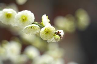 The flower of plum in Ohatsu Tenjin Shinto Shrine No.2.