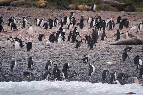 469 Kinbandpinguins