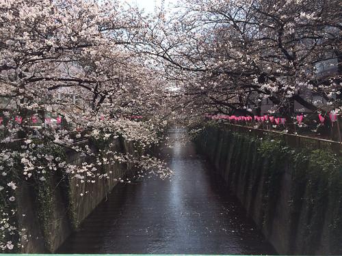 目黒川沿いの桜 2014/3/29 午前中