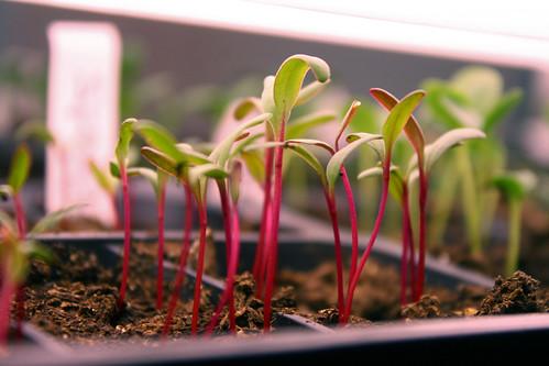 seedlings 7020