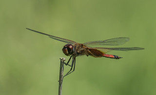 striped saddlebags