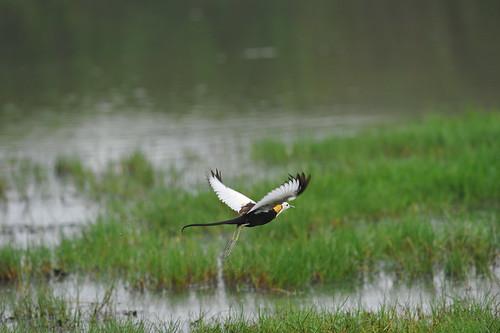 在浮葉植物、草澤,仔細觀察,或許就能找到水雉!(圖片來源:台南市水雉生態教育園區)