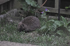 HolderHedgehog in Garden, Whitnash by Mark Wootton