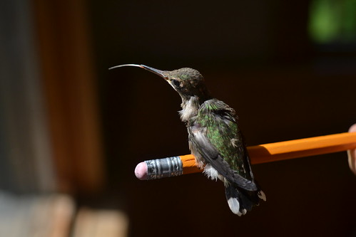 Buz the humming bird