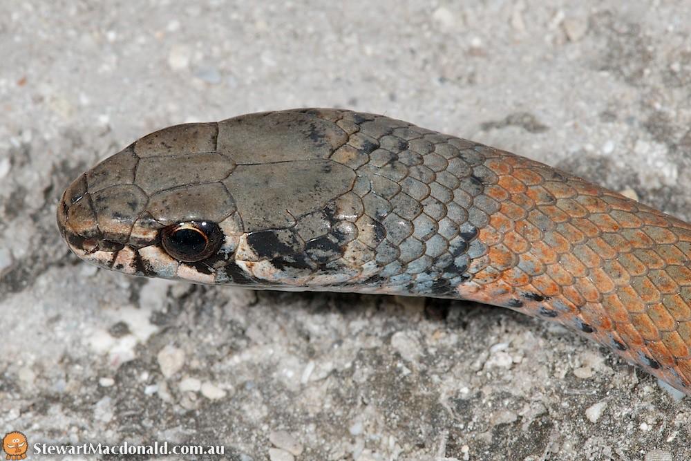 Collared whipsnake (Demansia torquata)