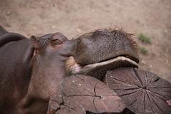 Zoo de América - Hipopótamo