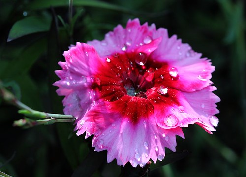 raindrops on dianthus