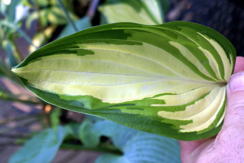 Hosta 'Rare Breed' (12)-002