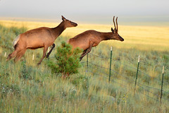 Elk Jumping the Fence
