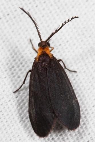 insect nc moth july northcarolina lepidoptera fieldtrip coastalplain eol zygaenidae bmna procridinae canonefs60mmf28macrousm medocmountain acoloithus clemensfalseskeletonizer taxonomy:binomial=acoloithusfalsarius acoloithusfalsarius medoc20130710